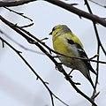 Yellow bird (17205899421).jpg
