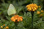 Yellow butterfly on Tagetes lucida.jpg