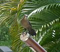 Young Carib Grackle. - Flickr - gailhampshire.jpg