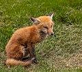 Young Fox (35628260486).jpg