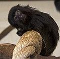 Young Goeldis Monkey (5512057029).jpg