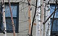 Young paper birches strut their colors.jpg