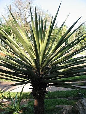 Description de l'image  Image:Yucca_baccata.jpg .