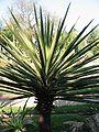 Yucca baccata.jpg