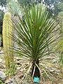 Yucca mixtecana - Jardin d'oiseaux tropicaux - DSC04881.JPG