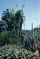 Yucca rigida in Hunting ton B.jpg