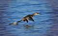 Zampullín corriendo sobre el agua - little grebe running on the water.jpg