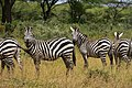 Zebras, Yabello Wildlife Sanctuary (1) (29276290525).jpg