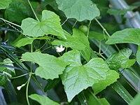 Zehneria japonica2SHSU.jpg