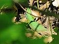 Zelembać - Lacerta viridis.jpg