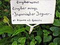 Zingiber mioga (DITSL).JPG