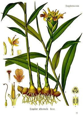Echter Ingwer (Zingiber officinale), Illustration aus Koehler 1887