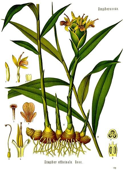 File:Zingiber officinale - Köhler–s Medizinal-Pflanzen-146.jpg