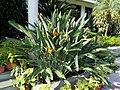 Zingiberales - Strelitzia reginae 1.jpg
