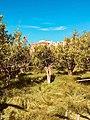 Zitronen-Garten Sorrent.jpg