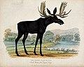 Zoological Society of London; a moose deer or elk. Coloured Wellcome V0023136.jpg