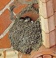 Zwei Jungschwalben im Nest.jpg