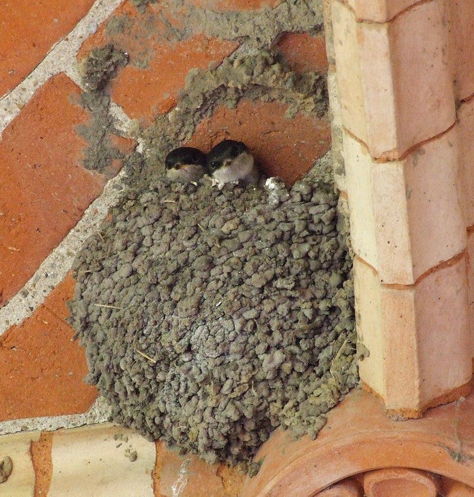 Zwei Jungschwalben im Nest