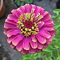 'Queen Red Lime' zinnia IMG 0820.jpg