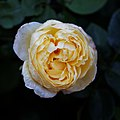 'Rosa Charlotte' English Rose Capel Manor College Gardens Enfield London England.jpg