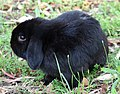 (1)Lop eared rabbit-1.jpg