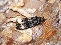(1097) Endothenia gentianaeana-marginana (35132629692).jpg