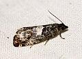 (1176) Epiblema trimaculana (5696090069).jpg