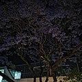 Árbol de jacaranda en CDMX.jpg