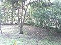Árbol de mango, raíz pivotante.jpg