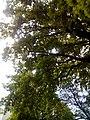 Віковий дуб, Прилуцький район, м. Прилуки, вул. Вокзальна, 36 74-107-5002 04.jpg