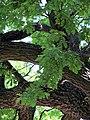 Гомель. Парк. Дуб черешчатый. Фото 07.jpg