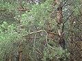 Горлица на ветке сосны, 2015.F5TFK.jpeg