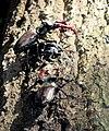 Жуки-олені розмноження та годівля 05.jpg