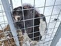Киркколахти, Карельский зоопарк, шетлендский пони (1).jpg
