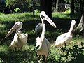 Київський зоопарк пелікани.jpg