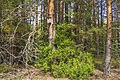 Лесные зарисовки MG 9305.jpg