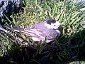 Острів Зміїний, перелітна пташка.jpg
