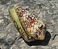 Текстильный конус, Teхtile cone,Conus textile (Conidae) .2H1A5150ОВ.jpg