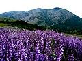 Чатир-Даг нижнє плато - літні квіти.jpg