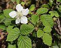 クサイチゴ Rubus hirsutus.jpg