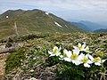 ハクサンイチゲと仙ノ倉山2.jpg