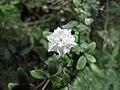 六月雪-重瓣 Serissa japonica (Serissa pleniflora) -倫敦植物園 Kew Gardens, London- (9229860602).jpg