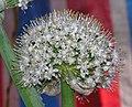 大蔥 Allium fistulosum v giganteum -香港青松觀蘭花展 Tuen Mun, Hong Kong- (9227076891).jpg