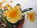 小黃花石斛 Dendrobium jenkinsii -香港青松觀蘭花展 Tuen Mun, Hong Kong- (9213307407).jpg