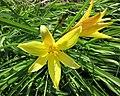 小黃花菜 Hemerocallis minor -比利時國家植物園 Belgium National Botanic Garden- (9213307369).jpg