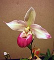拖鞋蘭屬 Phragmipedium schlimii -香港沙田洋蘭展 Shatin Orchid Show, Hong Kong- (30662253334).jpg