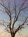 棗樹 - panoramio.jpg