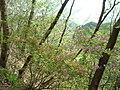 矢祭山に自生するツツジ.jpg