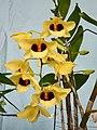 石斛蘭 Dendrobium Gatton Sunray -香港青松觀蘭花展 Tuen Mun, Hong Kong- (15346863279).jpg