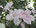粉風鈴木 Tabebuia roseo-alba -馬來西亞 Putrajaya, Malaysia- (9193429246).jpg